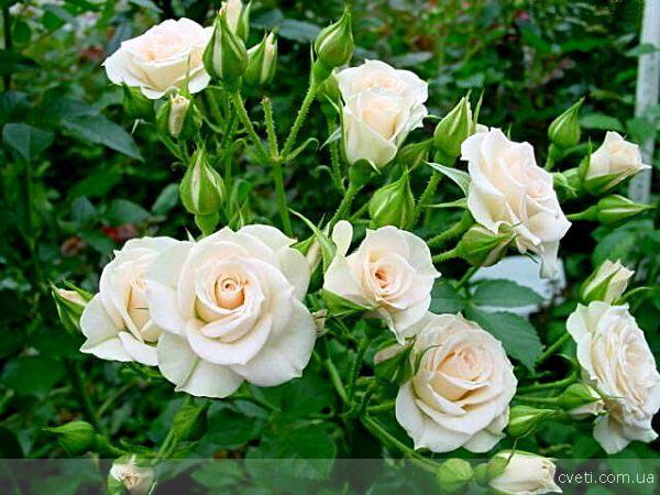 Канадские розы выдерживают 36 градусов мороза