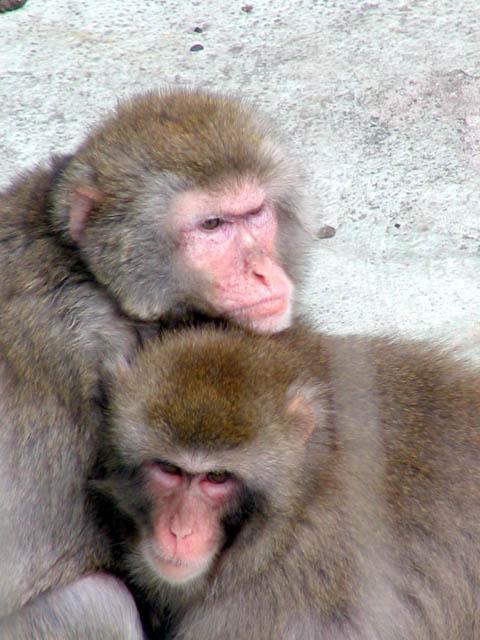 Любимый обезьян