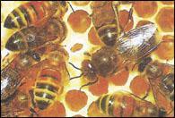 Укрепление и лечение волос при помощи меда