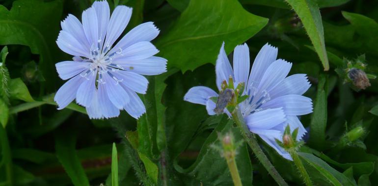 Польза и вред цикория, другие лекарственные растения
