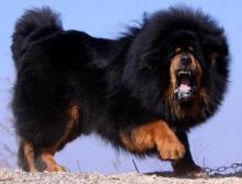 Породы собак для охраны дома